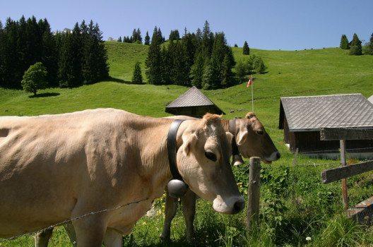 79,5 % des in der Schweiz verzehrten Fleischs stammen aus dem Inland. (Bild: photobank.ch – shutterstock.com)