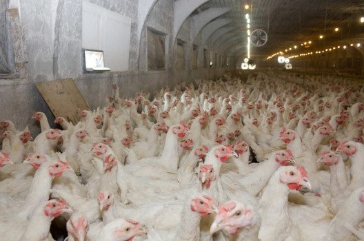 Der weltweite Markt für Schweine und Geflügel wächst kontinuierlich. (Bild: Kharkhan Oleg – shutterstock.com)